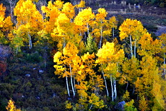 Color me yellow! (Great Salt Lake Images) Tags: fall utah edited picasa boost snowbasin