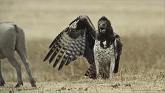 Martial Eagle (Polemaetus bellicosus) (Raymond J Barlow) Tags: africa travel tanzania eagle martial adventure crater ngorogoro polemaetus bellicosus raymondbarlowphototours