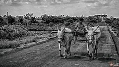 Bullock Cart (raveclix) Tags: bullock cart india village creative ravindra ravi kaushik
