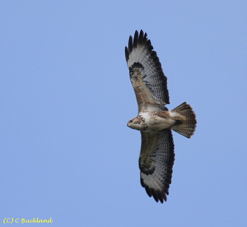"Buzzard in flight (C.Buckland) • <a style=""font-size:0.8em;"" href=""https://www.flickr.com/photos/30837261@N07/10722422755/"" target=""_blank"">View on Flickr</a>"