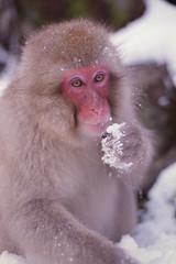 Snow Monkey (nag #) Tags: winter portrait snow cold cute eye film ice nature face animal japan monkey cool nikon december dof expression scan filmcamera charming nikkor spa nagano fm3a geographic hotsprings jigokudani snowmonkey     negativefilm