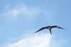 "_DSC6070  ""Female Magnificent Frigatebird"" (ChanHawkins) Tags: am galapagos april magnificent tagus cove"" ""female 12"" frigatebird"" ""isabellacaleta ""fri"