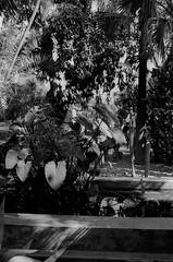 Scan-131230-0058.jpg (mathendrix) Tags: africa analog garden blackwhite marrakech roll2 nikonf3 marroco fujineopan400 yvessaintlaurent jardinmajorelle homedeveloping 2013 nikoncoolscan5000ed