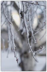 Frosty farewell to 2013 (jmschrei) Tags: winter snow tree nature frost bokeh birch fa5014 pentaxk5