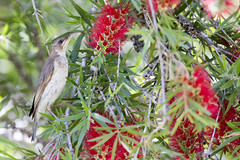 brown backed honeyeater 2 (Jim Bendon) Tags: australianbirds northqueensland mountmolloy bendon brownbackedhoneyeater 800mmf56