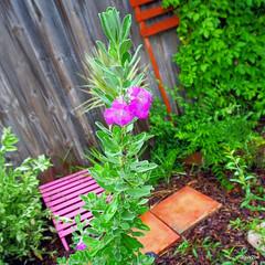 Barometer Bush  7-17-2012 6-53-031 (1guy2be) Tags: color nature purple pentax florida sage alkaline purplesage silverleaf texasranger texassage cenizo leucophyllumfrutescens barometerbush 1guy2be in2it2much richardpriceelliott homesanctuary