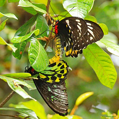 Cairns Birdwing couple (aussiegypsy_Katherine, NT) Tags: wild two male nature female forest butterfly nationalpark couple native wildlife australian butterflies australia tropical mating np aussie northern reproduction tropics largest birdwing worldheritage kuranda cooktown fnq farnorthqueensland cairnsbirdwing wettropics barrongorgenationalpark ornithopteraeuphorion largestinaustralia
