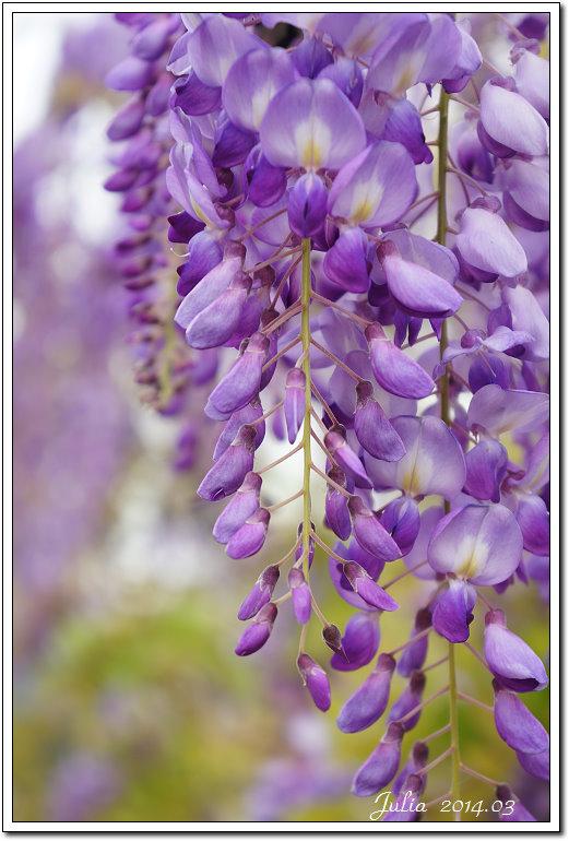 紫藤、老梅 (17)