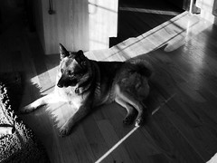 basking in the angles of the morning light (That Nikon Girl) Tags: morning light angles norwegianelkhound baskinginthesun bwdog
