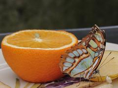 Vlindertuin Luttelgeest (Truus) Tags: butterfly vlinder luttelgeest