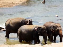 Elephant Bay Hotel, Pinnawala, Sri Lanka 05 (andytchelt1980) Tags: elephant nature water animal river asia wildlife pachyderm sri lanka bathe ceylon bathing riverbank pinnawala elephantbayhotel