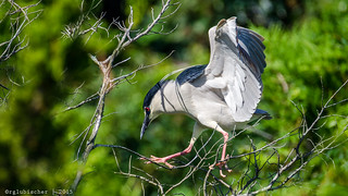 Rookery at Ocean City - Black-crowned Night Heron - 7 [EXPLORED]