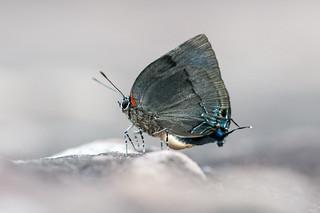 Panthiades bitias Butterfly