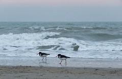Evening hike (Elisa1880) Tags: strand beach sea zee kijkduin den haag the hague nederland netherlands scholekster haematopus ostralegus oystercatcher