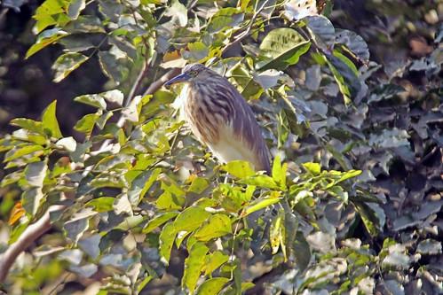 Indian Pond Heron2