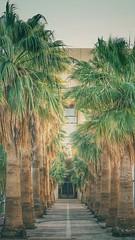 (ibndzerir) Tags: qassimuniversity الجامعةالقصيم السعودية مليدة القصيم qassim ulaz palmovik palminjak