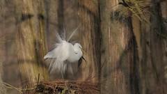2017-02-20 Great Egret displaying in slow motion (video) (Tara Tanaka Digiscoped Photography) Tags: bird display feathers swamp cypress florida backlight gh4 video swarovskistx85 nikon300mmf28 boat water manualfocus