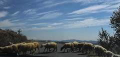 Group of sheeps passing the road (BesimIbrahimii) Tags: kosovo kosova sky cloud canon cloudy castle blue beautiful sheep sheeps nature novoberde animals albania animal group green car field