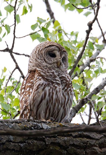 Barred Owl_Q4G9381