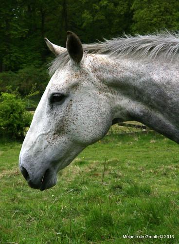 Grey Horse Profile
