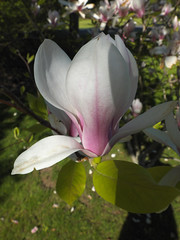 Tulip Magnolia (cjh44) Tags: ontario macro closeup garden kingston magnolia tulipshaped