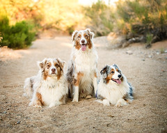 UV7A4086 (Aussies4me_ReenaG) Tags: dogs naturallight wash australianshepherd aussies 52weeksfordogs wwwreenagiolacom trioofaussies