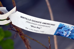 "Mirtillo gigante americano ""Blue Ray"" (Clarita ... la vita  meglio di una fiction) Tags: semi blueberry organicgardening squarefootgardening piantine verdurebiologiche verdepisello ortourbano urbanvegetablegarden ortosulterrazzo ortoaquadretti balconyvegetablegarden"