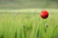 Poppy (nikos_m) Tags: red green nature nikon romance romantic sandikli d7000 photographyforrecreationeliteclub photographyforrecreationclassic sandykly