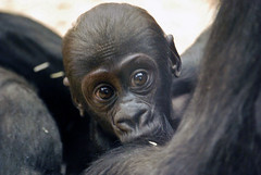 Nuru (catnip254) Tags: zoo prague gorilla prag praha tschechien czechrepublik westernlowlandgorilla westlicherflachlandgorilla
