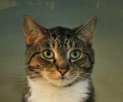 ~My Marvelous Milo Man~ (nushuz) Tags: portrait texture cat feline milo sayinghello lovethoseeyes maletabby miloman i3him suchaseriouspose missedhisflickrfriends hehasthemostadorablepinknose