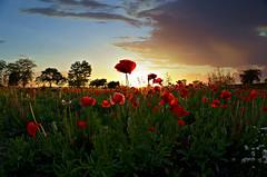 Poppy Sunset (kroess.photo.) Tags: flowers sunset summer ny nature beauty field daisies niagara falls poppies