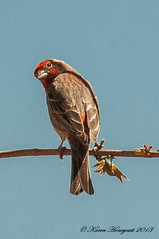 House Finch - Colorado (Karen Honeycutt) Tags: colorado housefinch karenhoneycutt