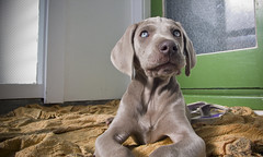 am I cuTe?  (m+m+t) Tags: newzealand dog puppy weimaraner pup ida mmt