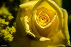 169 ~ 365 (BGDL) Tags: macro rose garden yellowrose 365 365project nikkor18105mm13556g nikond7000 lightroom4 bgdl cy365 tiredandgoingtosleepsoon