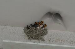 /Ultra-high-speed parent bird (koludabone49) Tags: bird chick swallow