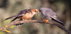 Red-footed Falcons - food handover
