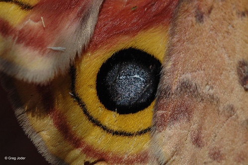 Photo - Hind wing of a female Io Moth.
