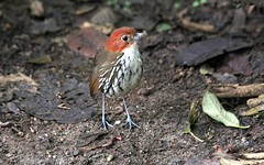 Chestnut-crowned Antpitta - Grallaria ruficapilla - Rio Blanco, C Andes [pic by Jose] (COLOMBIA Birding (Diego Calderon)) Tags: bird birds colombia birding aves pajaros trips tours endemic turismo birdwatching diegocalderon endemico neotropics endemics observaciondeaves colombiabirding birdwatchingtours wwwcolombiabirdingcom birdingtours endemicos