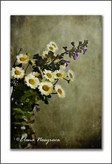 daisies (Elena Nosyreva) Tags: stilllife flower texture nature glass daisies photography catnip daisy textured macrophotography