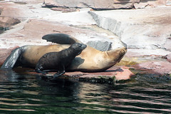 Please, let me sleep (Hedi-Alana) Tags: park sea vacation baby seascape cute nature water beautiful animal animals germany landscape zoo amazing waves magic mother sealife seal magical natures fantasticnature nurembergzoo nuernbergertiergarten
