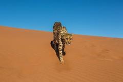 20130616_Namibia_Kiki_at_Dunes_0231.jpg (Bill Popik) Tags: africa kiki mammals namibia cheetahs 2places 3animals africancats