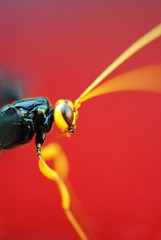 (Schuyler H. Miller) Tags: blue red black macro nature yellow bug insect wings wasp legs ichneumon antenna thorax