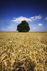 L'arbre (GPierre. Photographies.) Tags: blue cloud tree green field nikon champs nuage arbre bl d7000