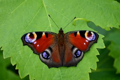Peacock Butterfly Inachis Io (Seventh Heaven Photography) Tags: peacock butterfly inachis io butterflies summer garden shropshire england britain british lopidoptera nature wildlife nikond3200 papillon