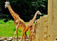 Giraffes (Daphne Hollingsworth Photo) Tags: sc zoo giraffes greenville