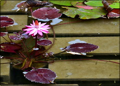 water lily (star krek photography) Tags: pink flower nature nikon waterlily bloom d3100