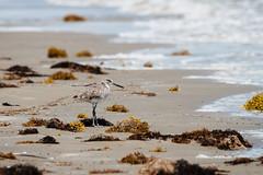 Willet (Nate League) Tags: galveston bird beach nature texas willet natureycrap