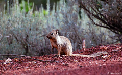 Zion Squirrell (spollock61) Tags: summer usa nature utah squirrel critter wildlife soil zionnationalpark redrock shrubs