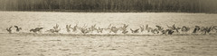 Coot Pandemonium-6036 EXPLORED 28/09/13 (WendyCoops224) Tags: canon eos explore panic marsh splash flap coot harrier minsmere pandemonium rspb 600d 100400mml summerofwildlife seeitsnapitshareit