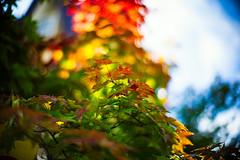 First Sign (moaan) Tags: life leica autumn sign 50mm hokkaido glow dof bokeh f10 september momiji japanesemaple utata  glowing noctilux m9 2013 inlife signofautumn leicanoctilux50mmf10 leicam9p nulabiraspa